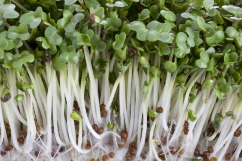Brotes de brócoli, cancer, salud